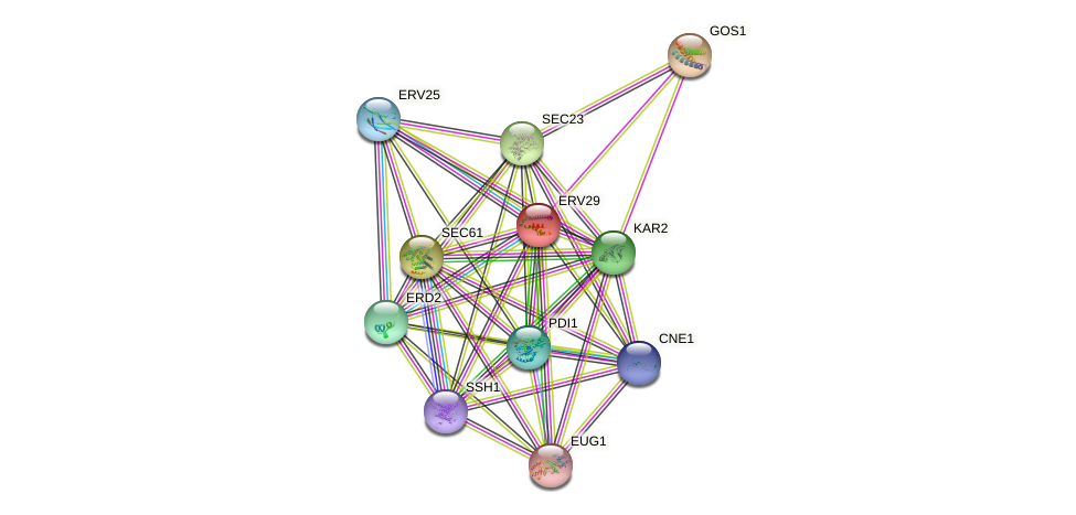 ERV29 protein (Saccharomyces cerevisiae) - STRING interaction network