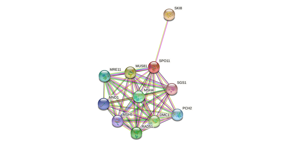 SPO11 protein (Saccharomyces cerevisiae) - STRING interaction network