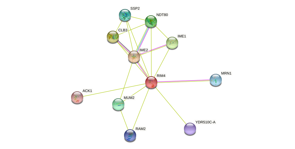 RIM4 protein (Saccharomyces cerevisiae) - STRING interaction network