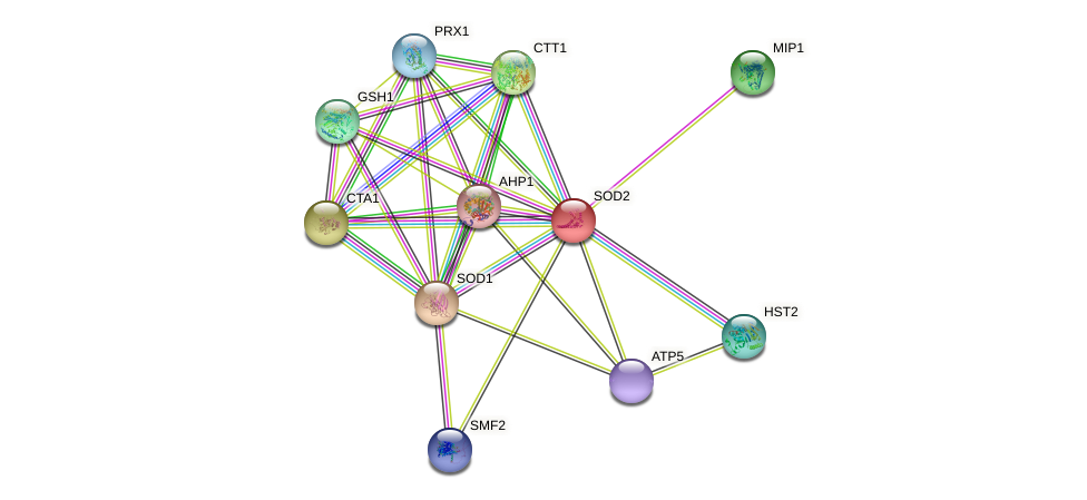 SOD2 protein (Saccharomyces cerevisiae) - STRING interaction network