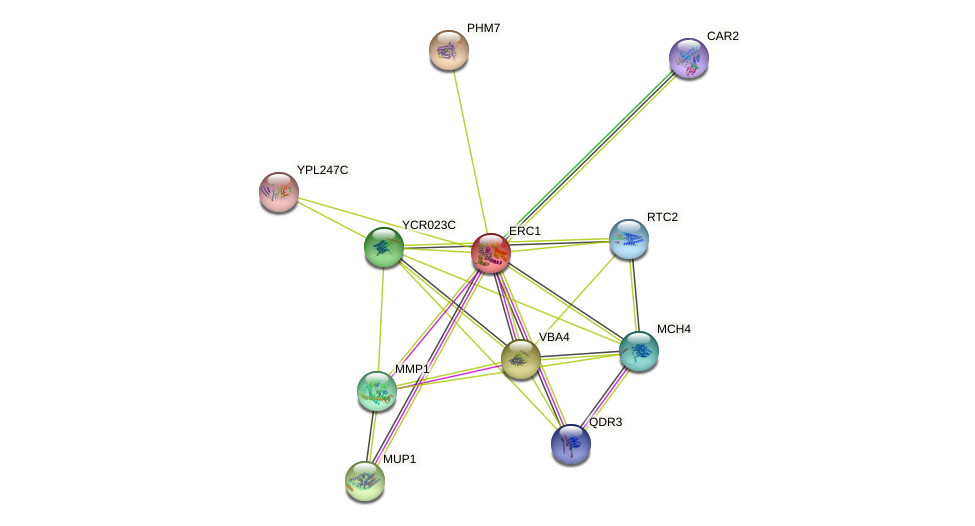 ERC1 protein (Saccharomyces cerevisiae) - STRING interaction network