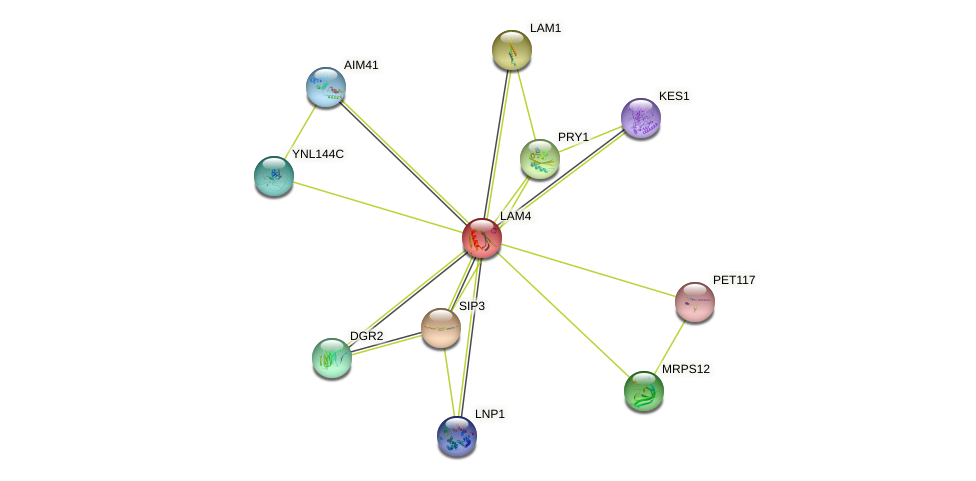 LAM4 protein (Saccharomyces cerevisiae) - STRING interaction network