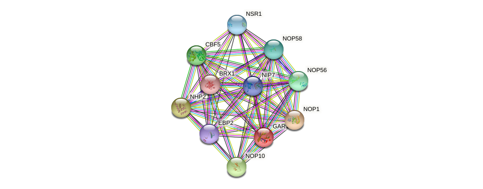 GAR1 protein (Saccharomyces cerevisiae) - STRING interaction network