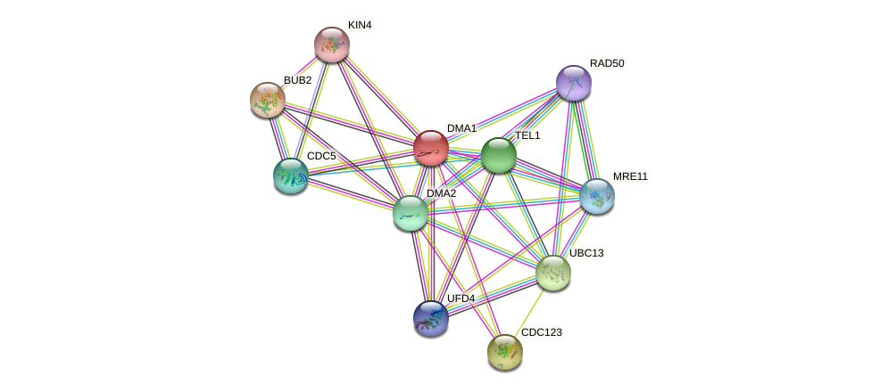 DMA1 protein (Saccharomyces cerevisiae) - STRING interaction network