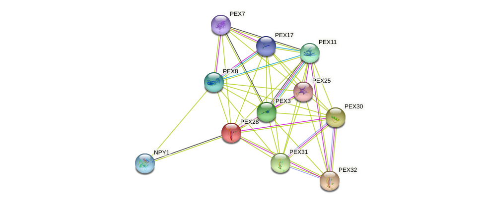 PEX28 protein (Saccharomyces cerevisiae) - STRING interaction network