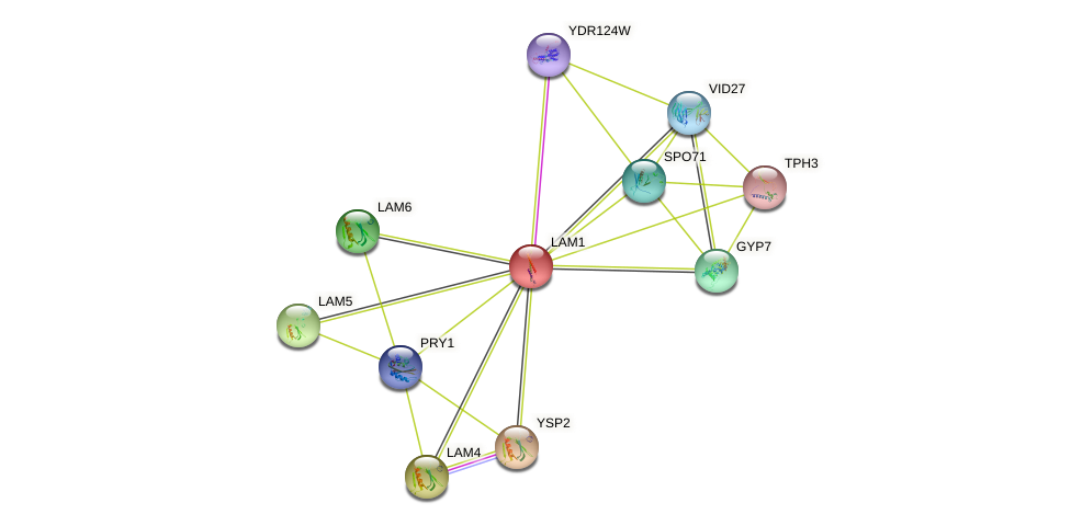 LAM1 protein (Saccharomyces cerevisiae) - STRING interaction network
