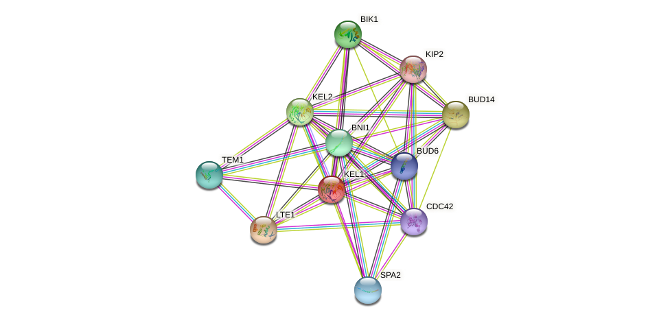 KEL1 protein (Saccharomyces cerevisiae) - STRING interaction network