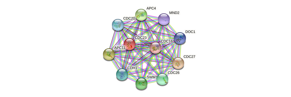 CDC23 protein (Saccharomyces cerevisiae) - STRING interaction network