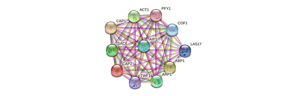 CAP2 protein (Saccharomyces cerevisiae) - STRING interaction network