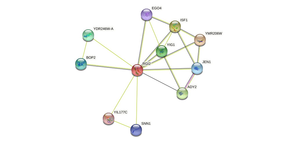 RGI2 protein (Saccharomyces cerevisiae) - STRING interaction network