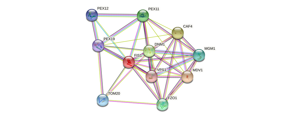 FIS1 protein (Saccharomyces cerevisiae) - STRING interaction network