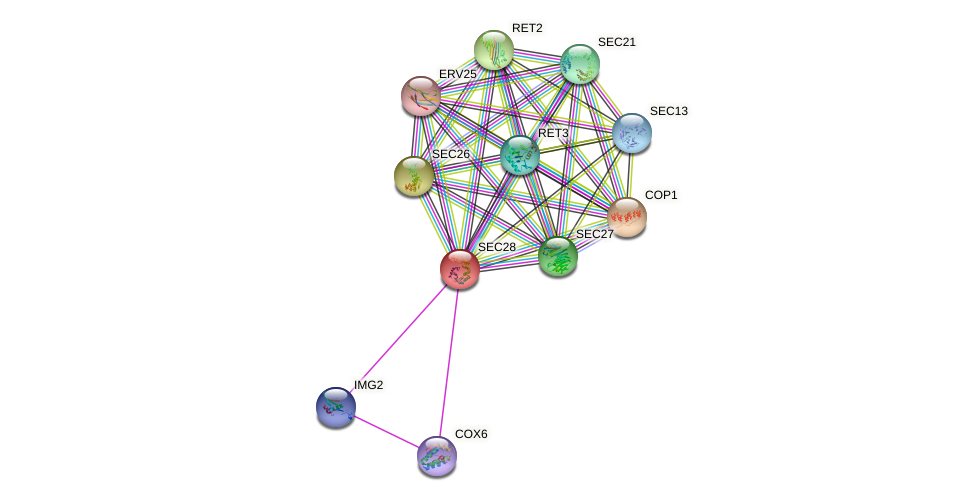 SEC28 protein (Saccharomyces cerevisiae) - STRING interaction network
