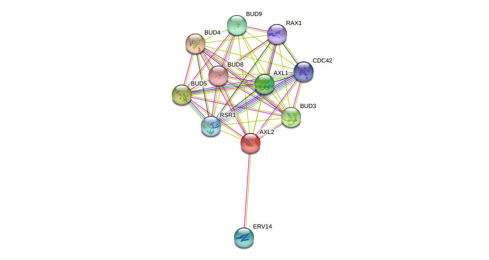 AXL2 protein (Saccharomyces cerevisiae) - STRING interaction network
