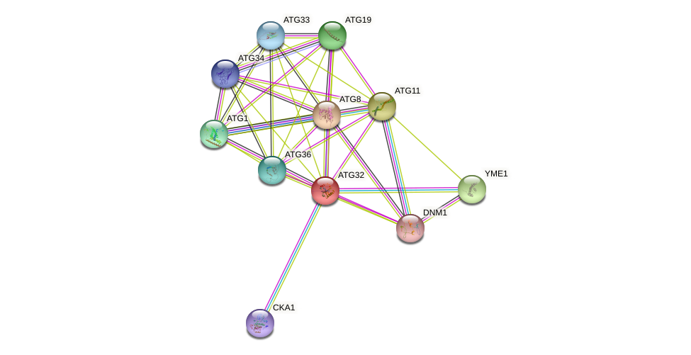 ATG32 protein (Saccharomyces cerevisiae) - STRING interaction network