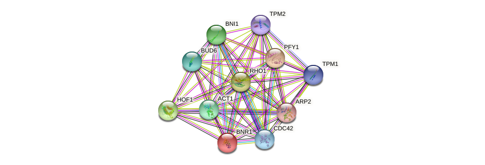 BNR1 protein (Saccharomyces cerevisiae) - STRING interaction network