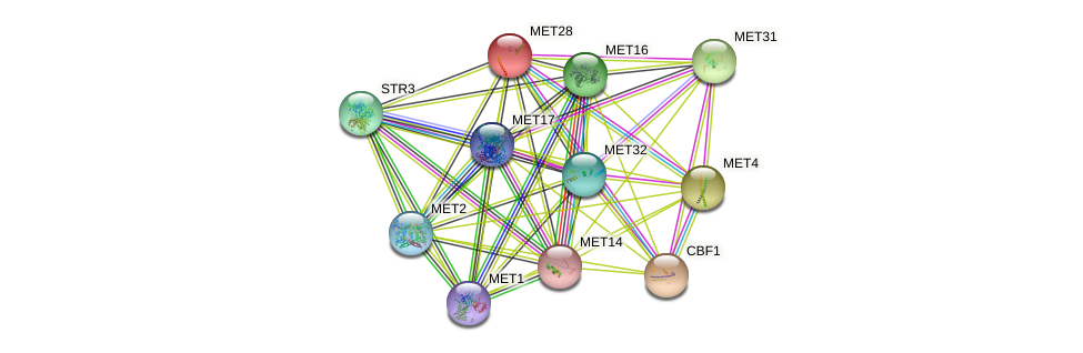 MET28 protein (Saccharomyces cerevisiae) - STRING interaction network