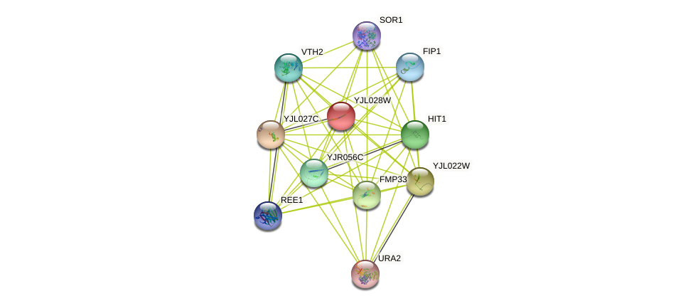 YJL028W protein (Saccharomyces cerevisiae) - STRING interaction network