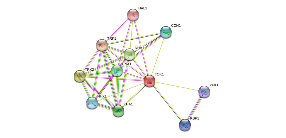 TOK1 protein (Saccharomyces cerevisiae) - STRING interaction network