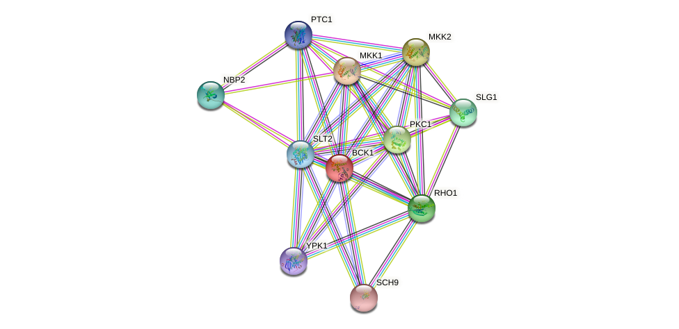 BCK1 protein (Saccharomyces cerevisiae) - STRING interaction network