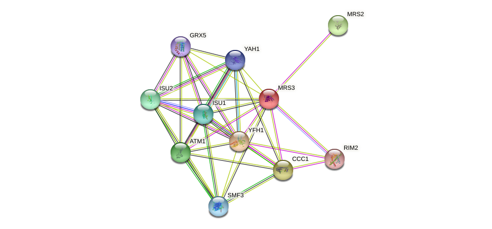 MRS3 protein (Saccharomyces cerevisiae) - STRING interaction network