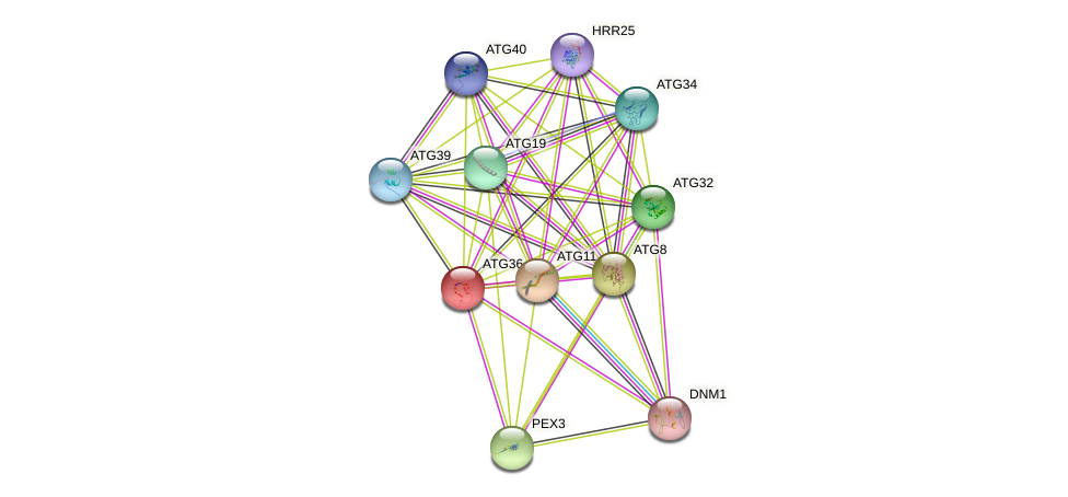 ATG36 protein (Saccharomyces cerevisiae) - STRING interaction network