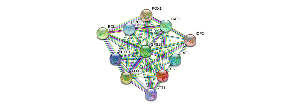 TES1 protein (Saccharomyces cerevisiae) - STRING interaction network