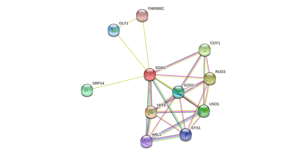 SGM1 protein (Saccharomyces cerevisiae) - STRING interaction network