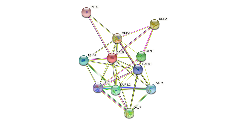 DAL5 protein (Saccharomyces cerevisiae) - STRING interaction network