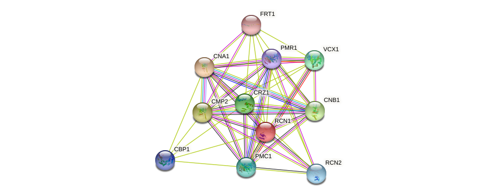 RCN1 protein (Saccharomyces cerevisiae) - STRING interaction network