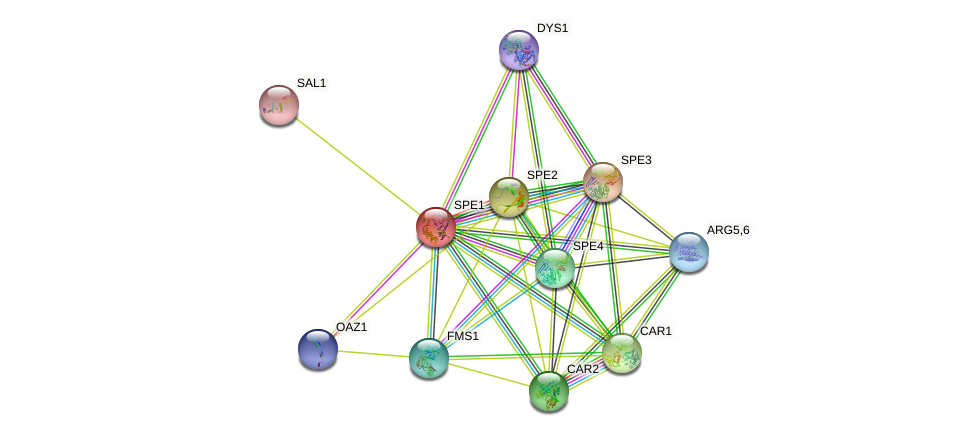SPE1 protein (Saccharomyces cerevisiae) - STRING interaction network