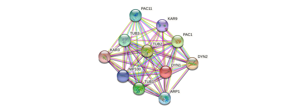 DYN1 protein (Saccharomyces cerevisiae) - STRING interaction network