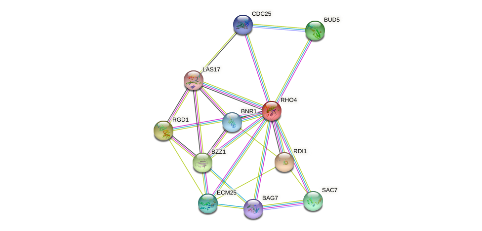 RHO4 protein (Saccharomyces cerevisiae) - STRING interaction network