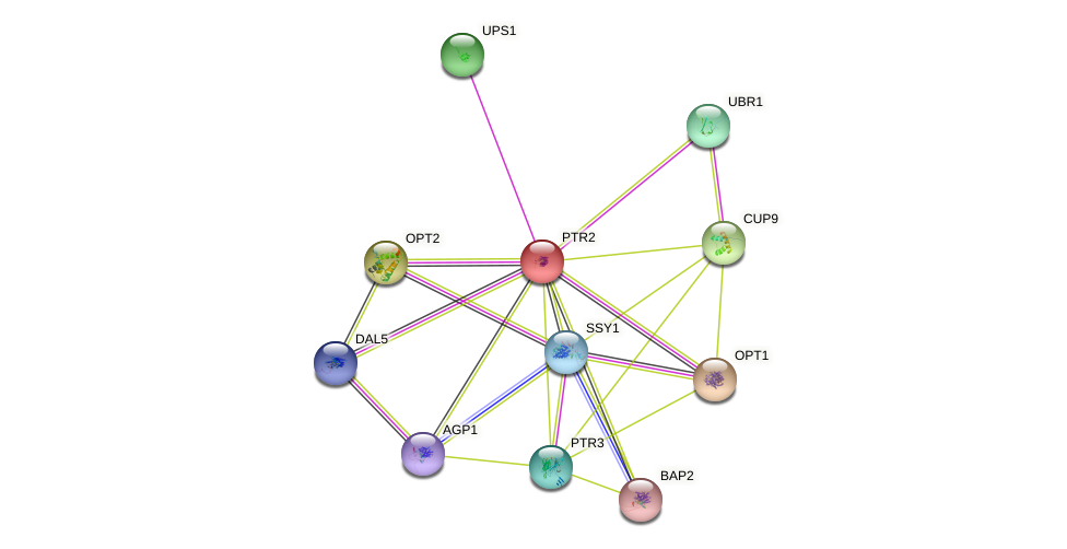 PTR2 protein (Saccharomyces cerevisiae) - STRING interaction network