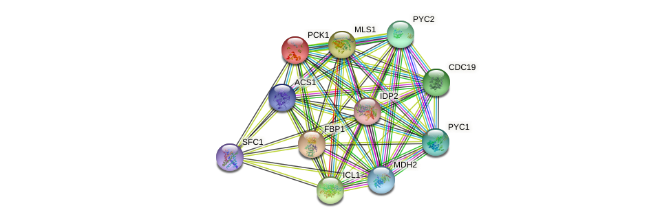 PCK1 protein (Saccharomyces cerevisiae) - STRING interaction network