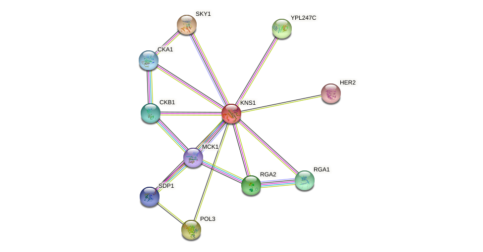 KNS1 protein (Saccharomyces cerevisiae) - STRING interaction network