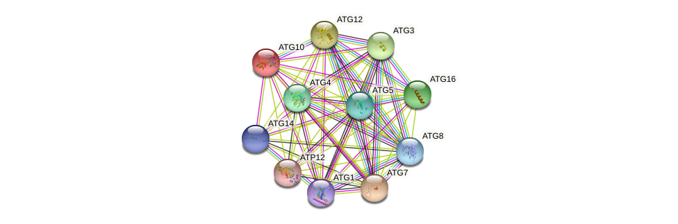 ATG10 protein (Saccharomyces cerevisiae) - STRING interaction network