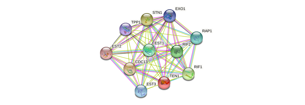 TEN1 protein (Saccharomyces cerevisiae) - STRING interaction network