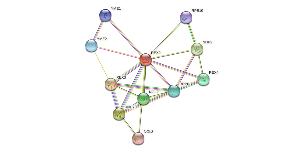 REX2 protein (Saccharomyces cerevisiae) - STRING interaction network