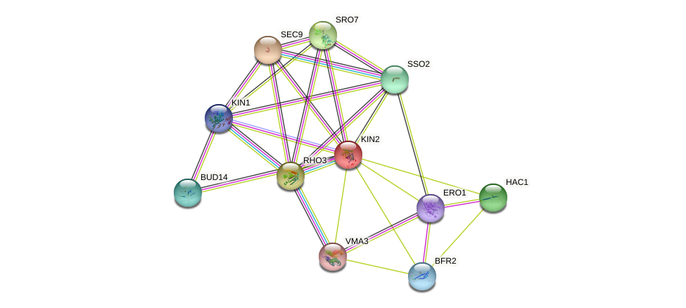 KIN2 protein (Saccharomyces cerevisiae) - STRING interaction network