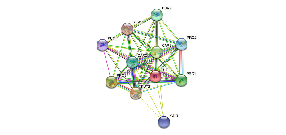 PUT1 protein (Saccharomyces cerevisiae) - STRING interaction network