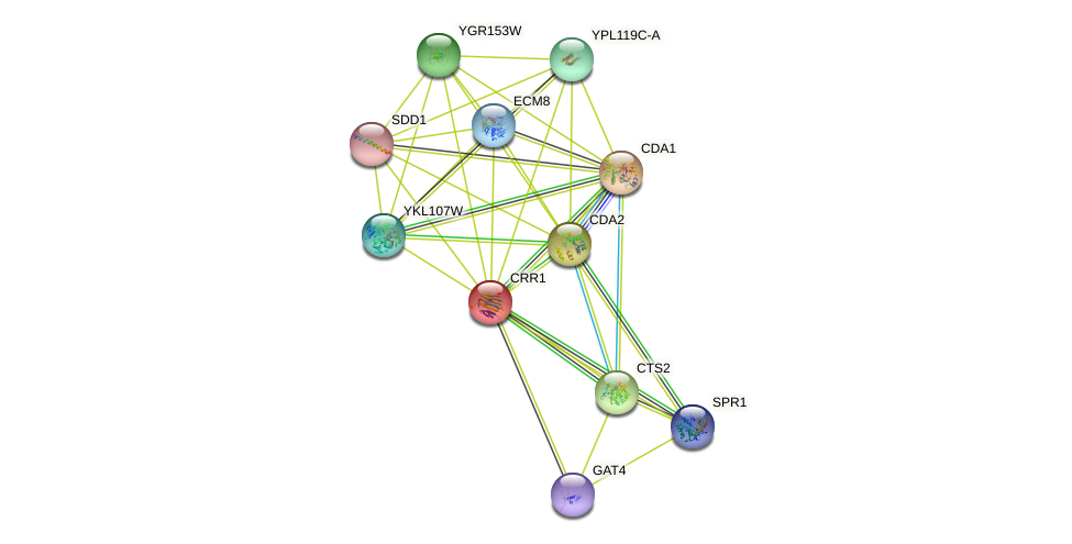 CRR1 protein (Saccharomyces cerevisiae) - STRING interaction network