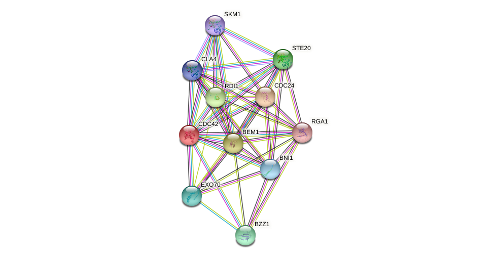 CDC42 protein (Saccharomyces cerevisiae) - STRING interaction network