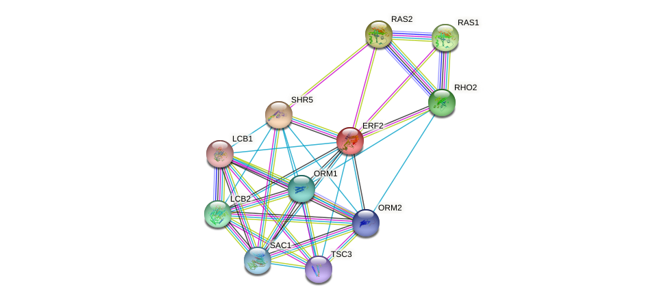 ERF2 protein (Saccharomyces cerevisiae) - STRING interaction network