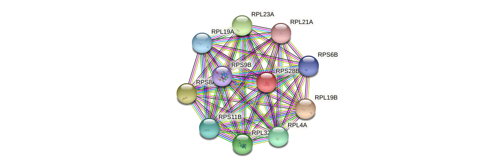 RPS28B protein (Saccharomyces cerevisiae) - STRING interaction network