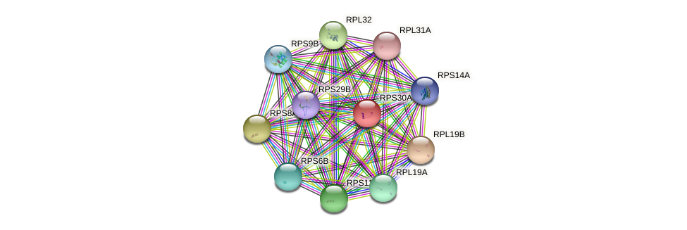 RPS30A protein (Saccharomyces cerevisiae) - STRING interaction network