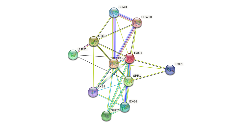 EXG1 protein (Saccharomyces cerevisiae) - STRING interaction network