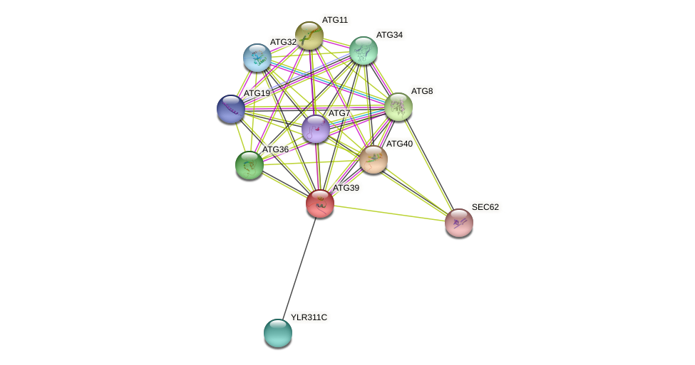 ATG39 protein (Saccharomyces cerevisiae) - STRING interaction network