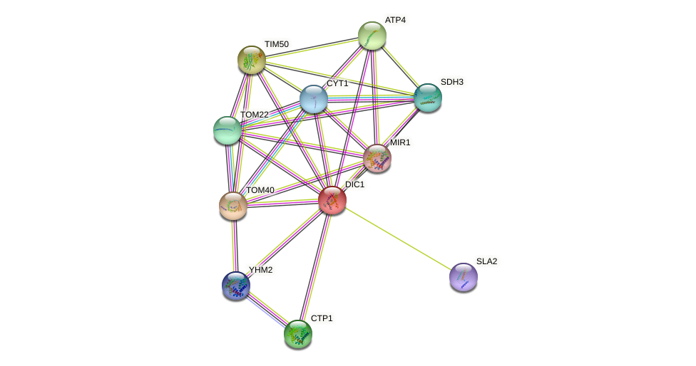 DIC1 protein (Saccharomyces cerevisiae) - STRING interaction network