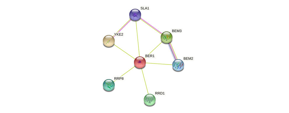 BER1 protein (Saccharomyces cerevisiae) - STRING interaction network