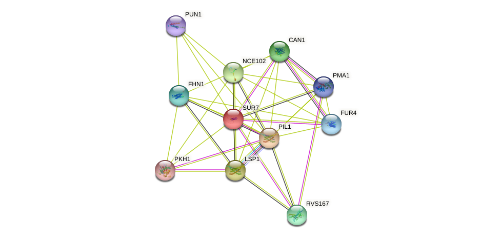SUR7 protein (Saccharomyces cerevisiae) - STRING interaction network